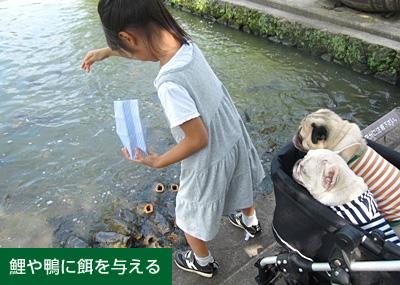 鯉や鴨に餌を与える